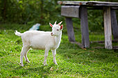 beautiful white little goat on the grass in the yard in the summer