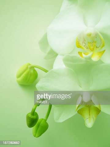 Beautiful white orchid blooms on light green background : Stock Photo