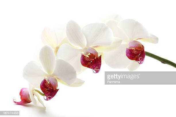 Beautiful White Orchid XXXL