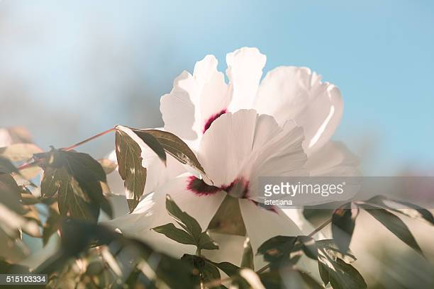 Beautiful white peony flower in the spring garden