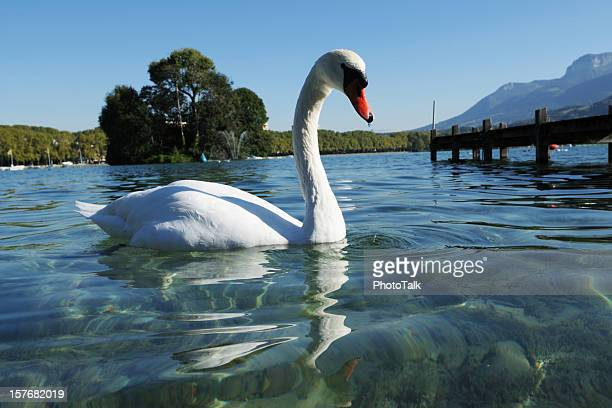 Beautiful White Swan Swimming On Lake - XLarge