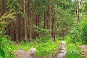 Beautiful wild forest after rain. Sammer day