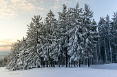 Beautiful winter forest with trees covered in snow