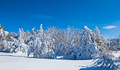 beautiful winter snowbound fir forest at the bright day