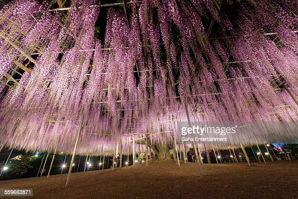 Beautiful wisteria blooming at night