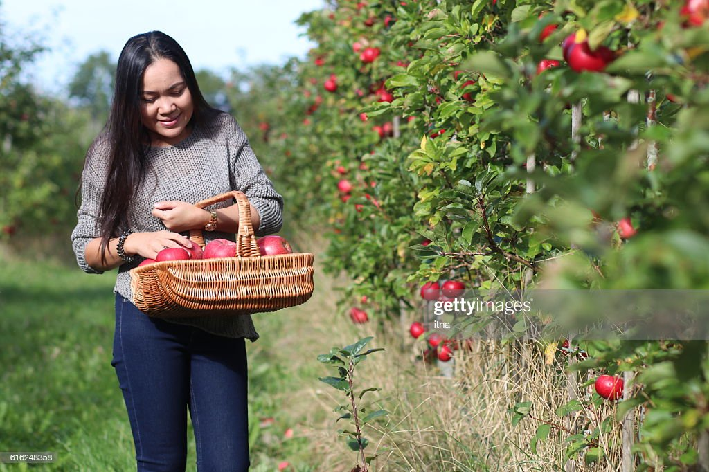 Beautiful woman picking a ripe apple in the orchard. : Stock-Foto