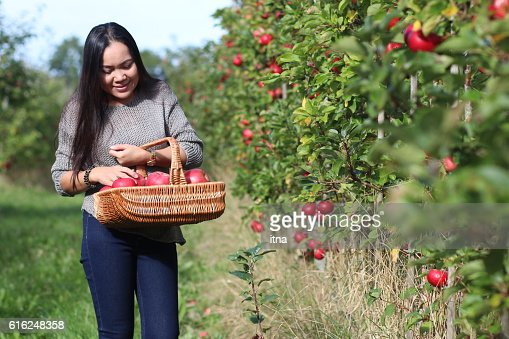 Beautiful woman picking a ripe apple in the orchard. : Foto stock
