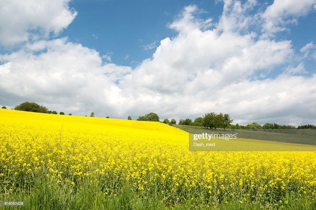 Beautiful yellow blooming rape seed field and blue sky : Foto de stock