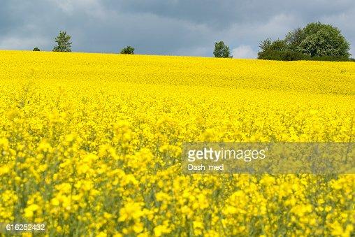Beautiful yellow blooming rape seed field : Foto de stock