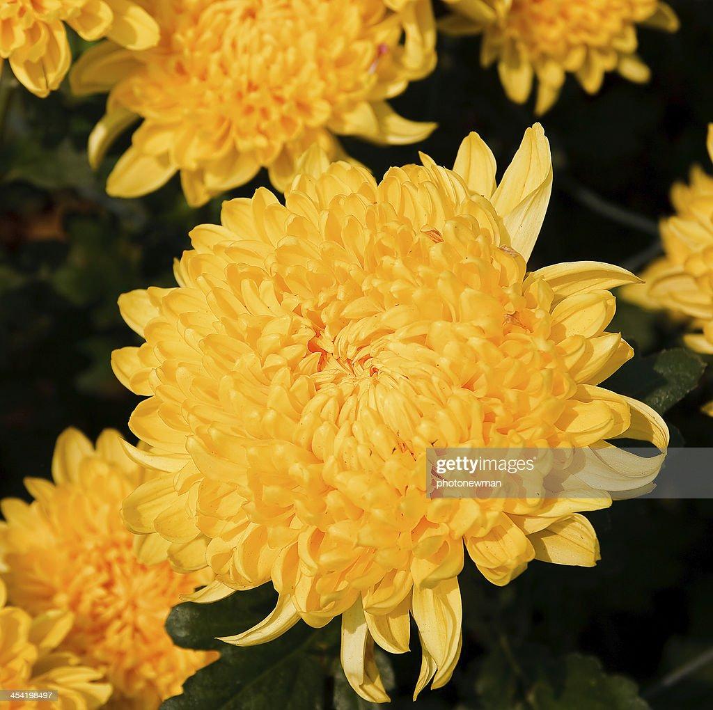 Bonito Crisântemo amarelo Flores : Foto de stock