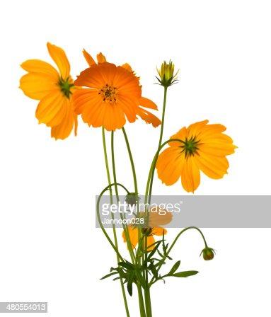 Bela Flor amarela (Cosmos) isolado no fundo branco. : Foto de stock