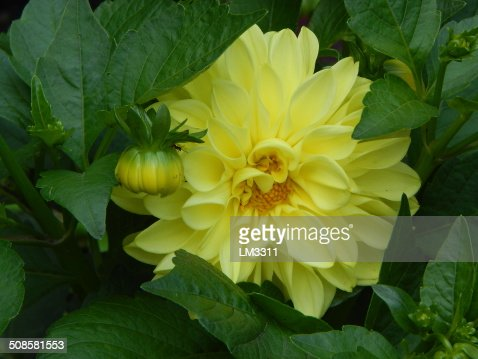 Beautiful yellow flowers in the summer garden. : Stock Photo