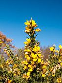 beautiful yellow gorse flowering plant spiky autumn tree background; essex; england; uk