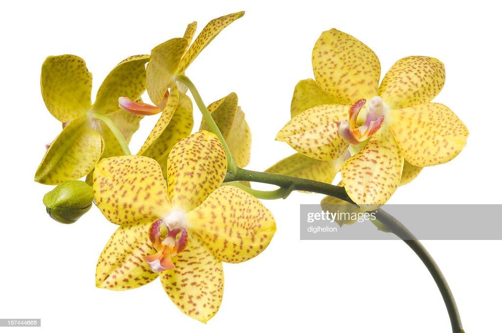 Schöne gelbe Orchidee auf weißem Hintergrund : Stock-Foto