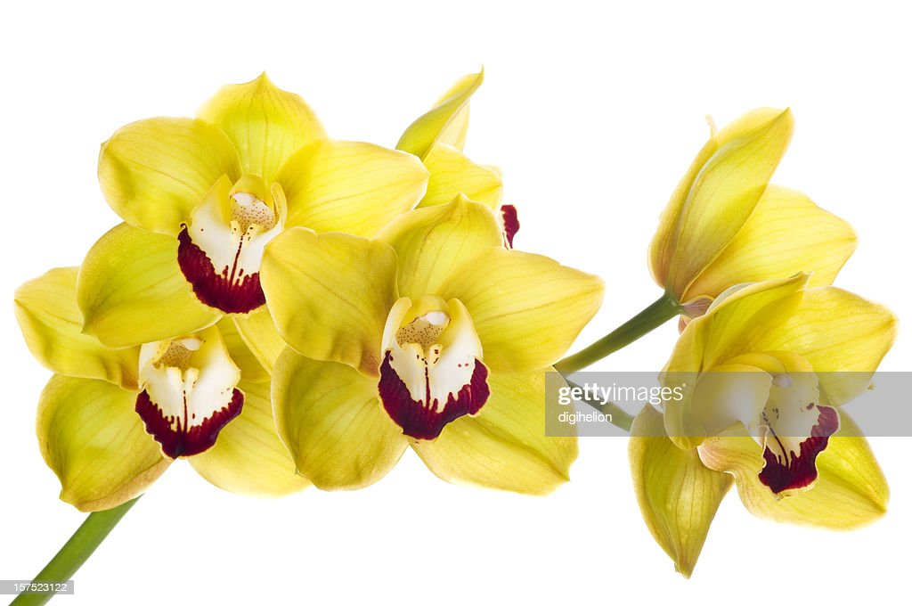 Beautiful yellow orchid on white : Stock Photo