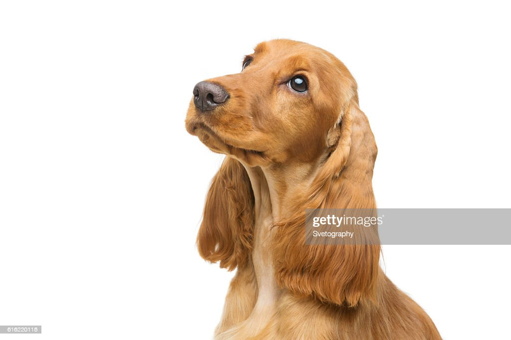 Beautiful young cocker spaniel : Stockfoto