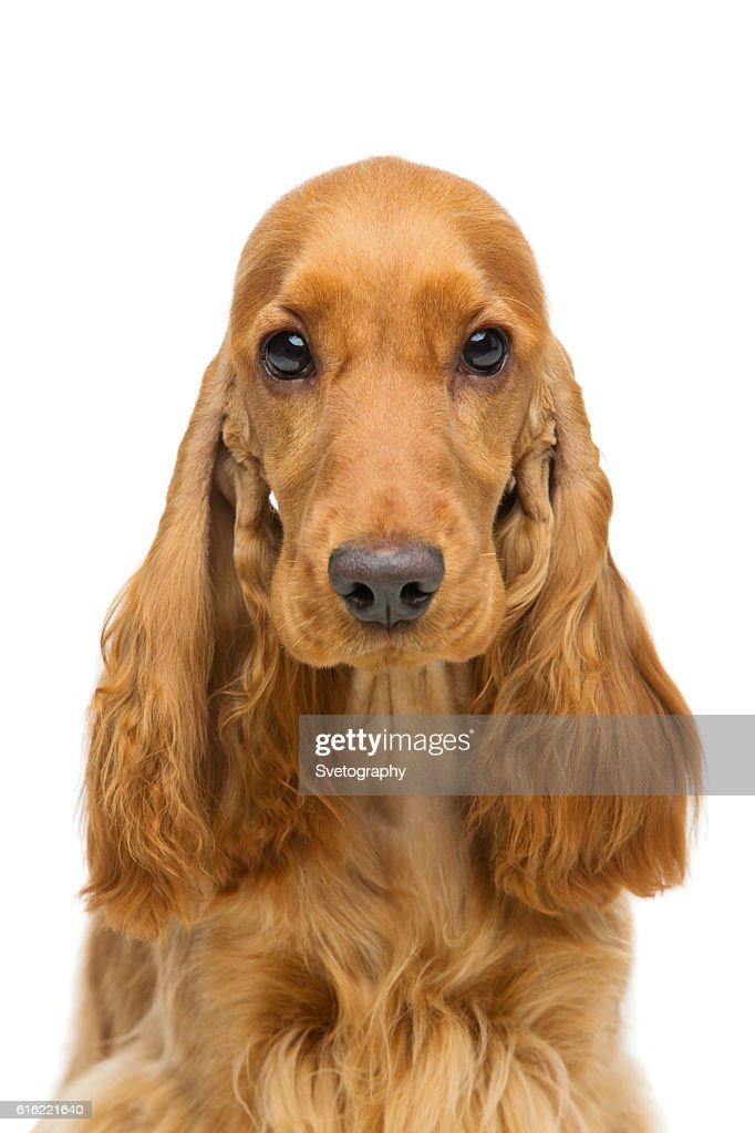 Schöne junge Cocker Spaniel : Stock-Foto