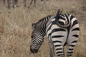 Photo of a zebra eating grass in the national park of Serengeti, Tanzania.
