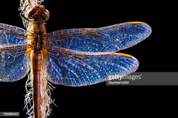 Beautifully Lit Dragonfly on Black Background