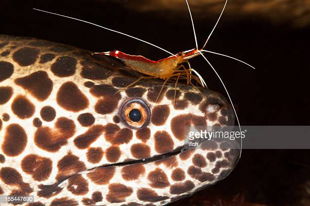 """Beauty and the Beast """", Moray mit Shrimps, North Bali, Indonesien"""