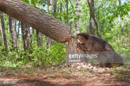 ビーヴァー、カティングダウン大きなオークの木