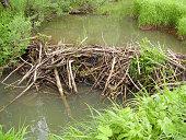 Beaver dam on a nice summer day. Midsummer, bright greens of the coastal vegetation.