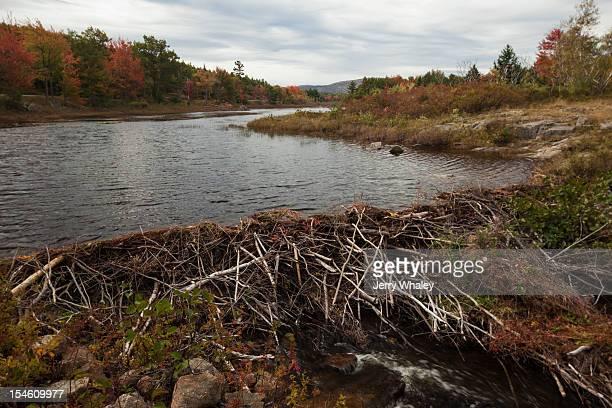 A beaver dam on Mount Desert Island, Maine