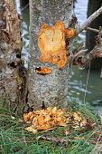 Marks on an Elm tree indicate damage caused by a beaver.