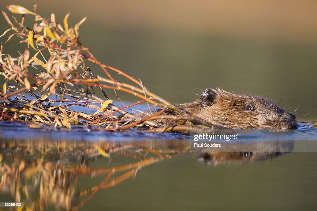 Beaver, Denali National Park, Alaska : Stock Photo