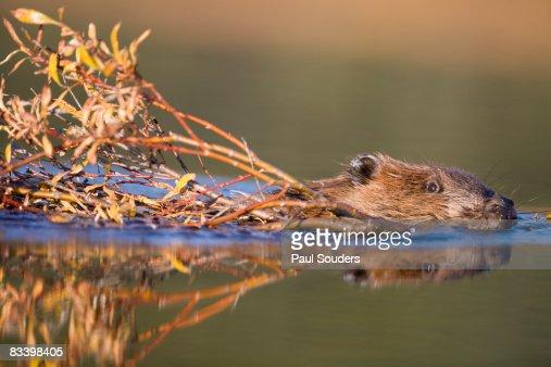 Beaver, Denali National Park, Alaska : Foto stock