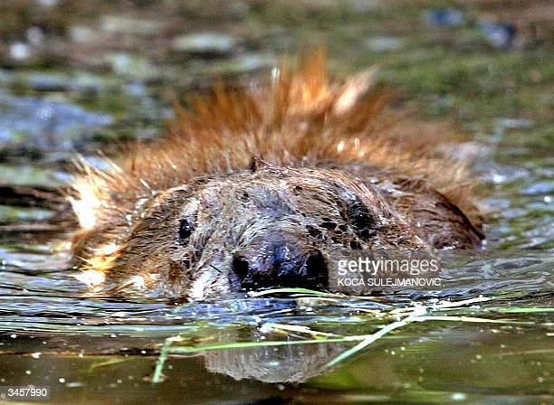 A beaver explores its new home on the 670hectare natural 'Zasavica' reserve along what once was a river and is now a marshland 22 April 2004 in...