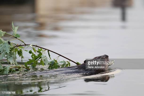 TORONTO ON JUNE 25 A beaver in Ashbridges Bay picks up some dinner in the form of a branch and brings it to his home under the boardwalk at the west...