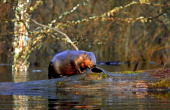 A beaver is seen on the trunk of a tree during spring flood in the Belarus village of Snyadin near Pripyat river some 300 km south of Minsk on April...