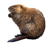 North American Beaver Isolated on White
