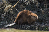 A beaver does his work on the side of a riverbank.