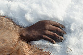 A close up look at a beaver paw on a snow covered grown in Missouri