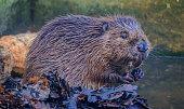 A beautiful beaver.