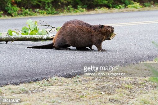 Beaver (Castor canadensis) pulling aspen branches across a road