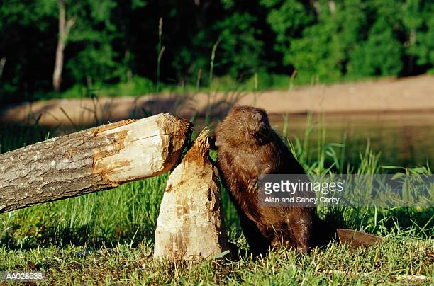 Beaver (Castor canadensis) standing by treeit felled
