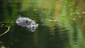 A beaver swims in a lake on the course during the second round of The MercedesBenz Championship at The Gut Larchenhof Golf Club on September 12 in...