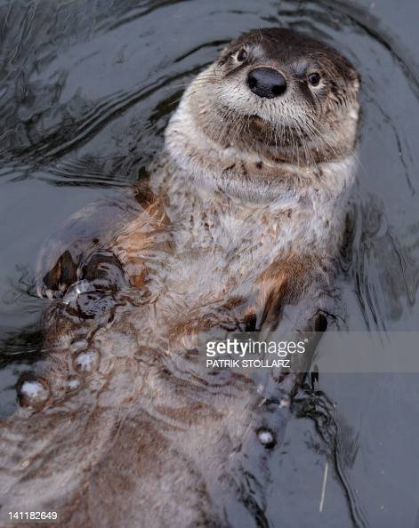 A beaver swims in a pool inside his enclosure at the 'ZOOM' Zoo in Gelsenkirchen western Germany on March 12 2012 AFP PHOTO / PATRIK STOLLARZ