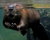A full frame view of a beaver through an aquarium tank, part submerged with just nose eyes and ears above water looking directly and left front leg out stretched ,paw up waving hello