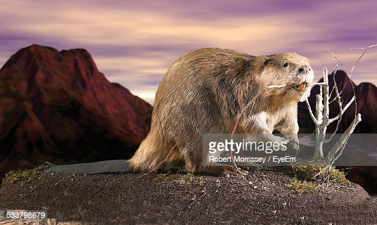 Beaver With Stick In Mouth Against Sky