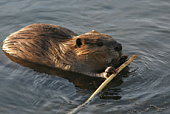 Beaver with stick