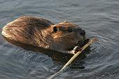 Beaver et un bâton