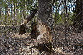 Beavers chewed tree trunks. Animal felling in the spring forest.