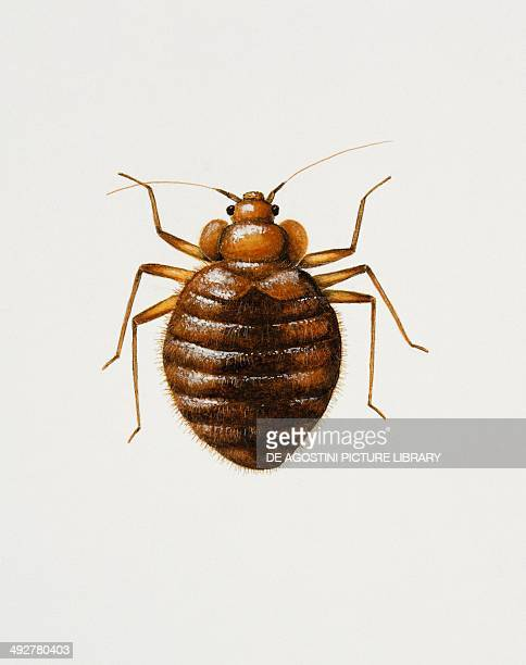 Bed bug Cimicidae Artwork by Bridgette James