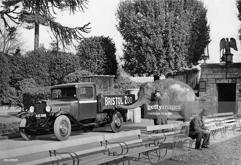 Bedford 30cwt WS truck with an elephant at Bristol Zoo A keeper and Judy the elephant examining one of the zoo's Bedford trucks