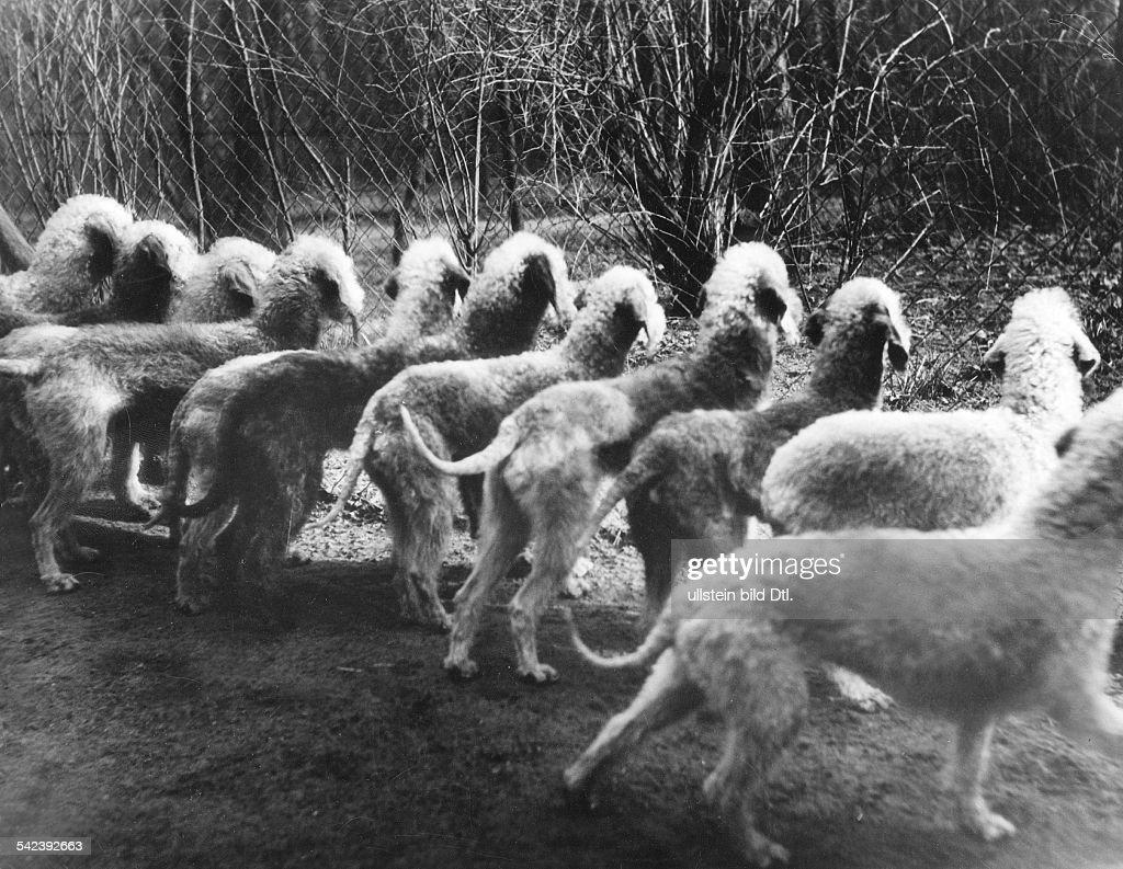 Bedlington Terrier am Zwingergittererschienen Dame 9/1937Foto Hedda Walther