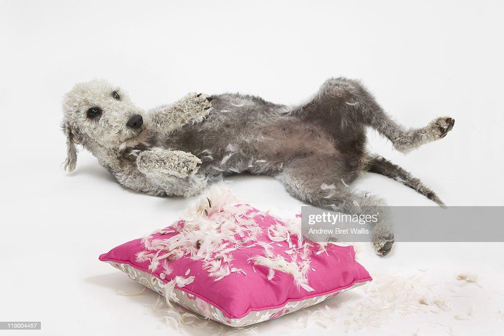 Bedlington Terrier dog laid near a damaged cushion